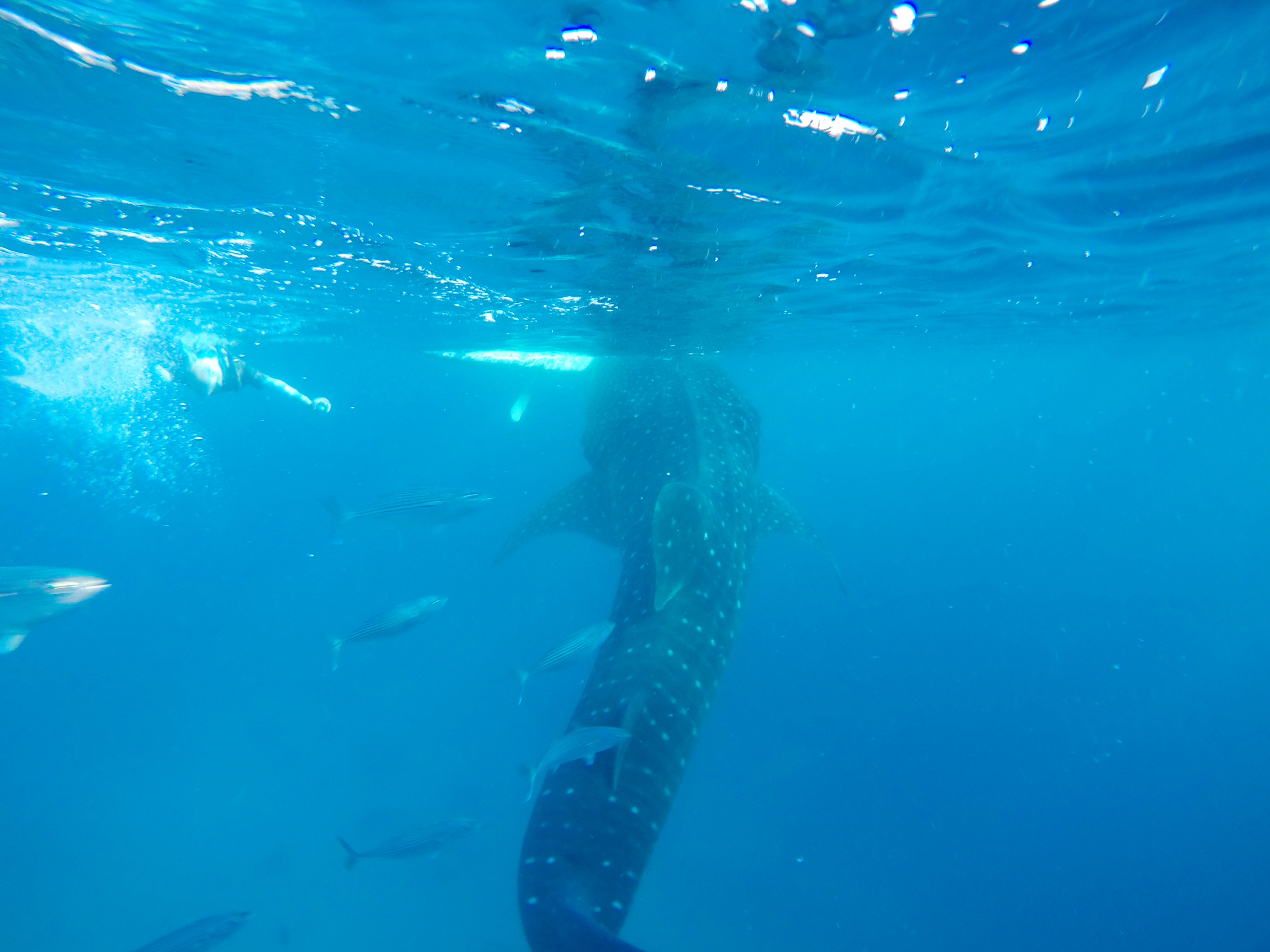 Oslob · Whale shark watching